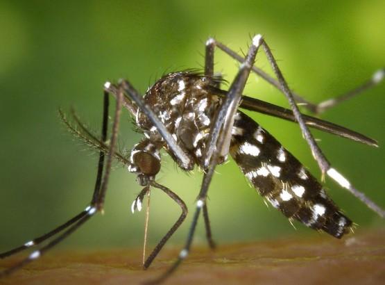 moustique-tigre-855px.jpg